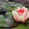 bigstock_Pink_Water_Lilly_3847211